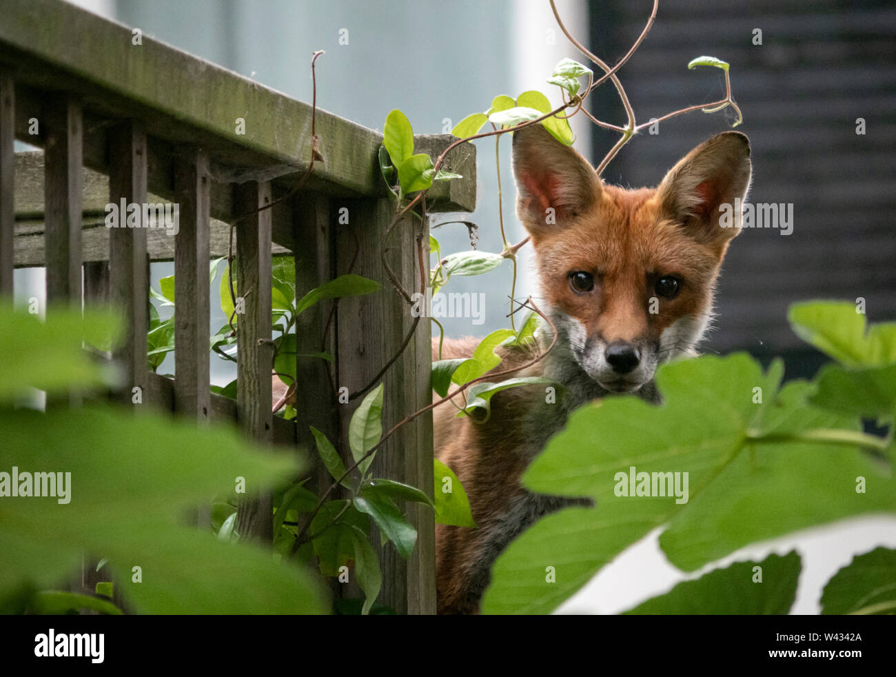 Urban fox: a wild European red fox youngster pokes its head out from behind a fig tree in a private garden on Brighton seafront, England, UK Stock Photo