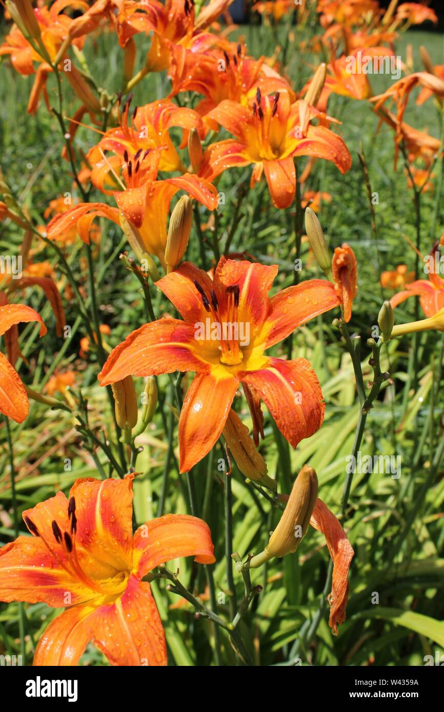 Bright orange tiger lilies growing in a field on a hot and sunny summer day, aka Ditch Lily, Liliaceae, Lilium tigrinum, Devil Lily, Kentan. Stock Photo