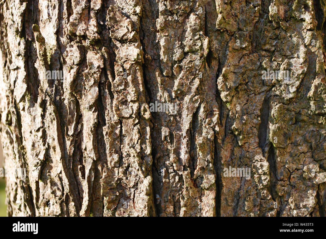 Rough bark of plum tree texture - Stock Image