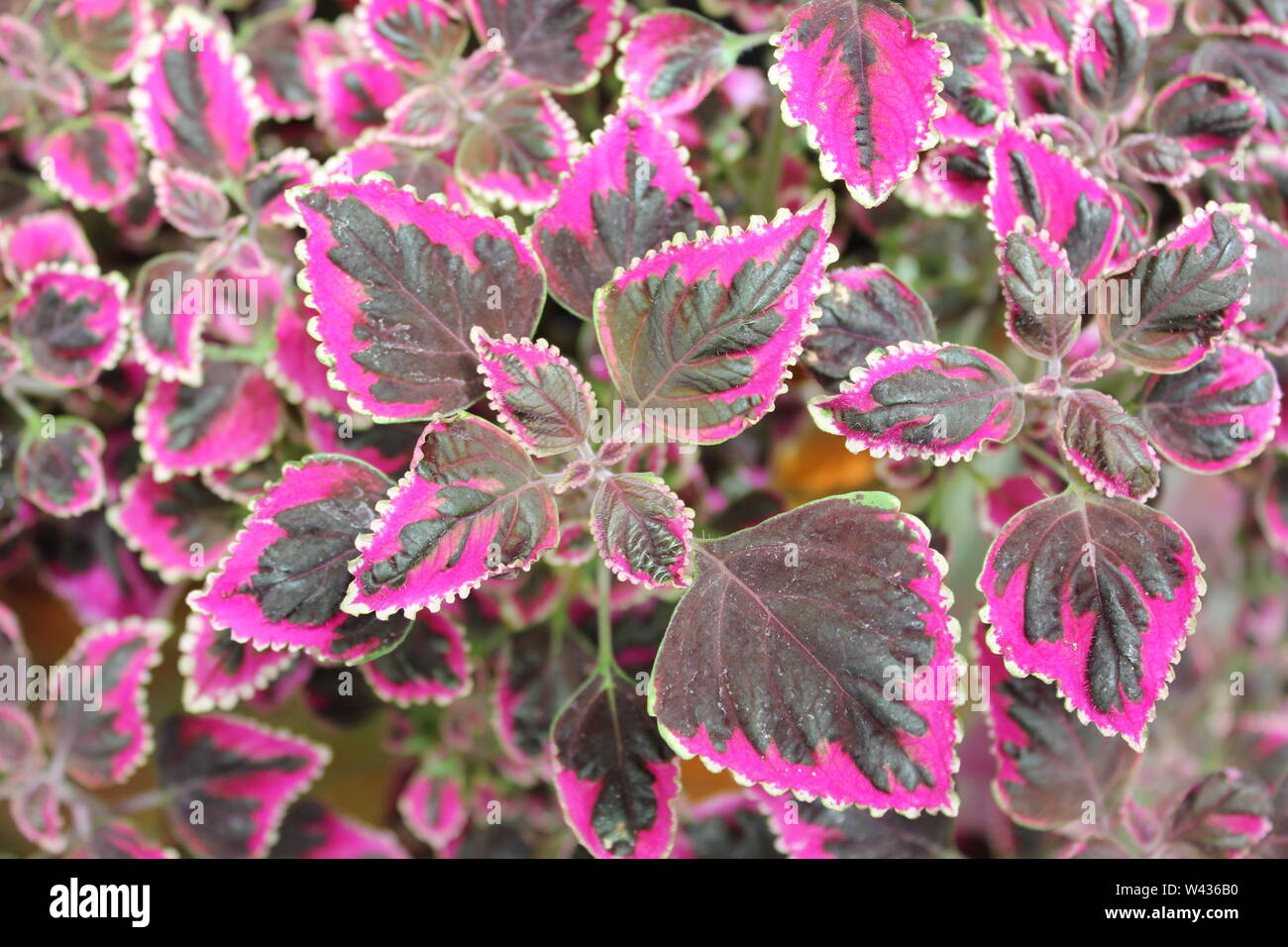 Brightly colored, coleus, Plectranthus scutellarioides, painted nettle. Stock Photo
