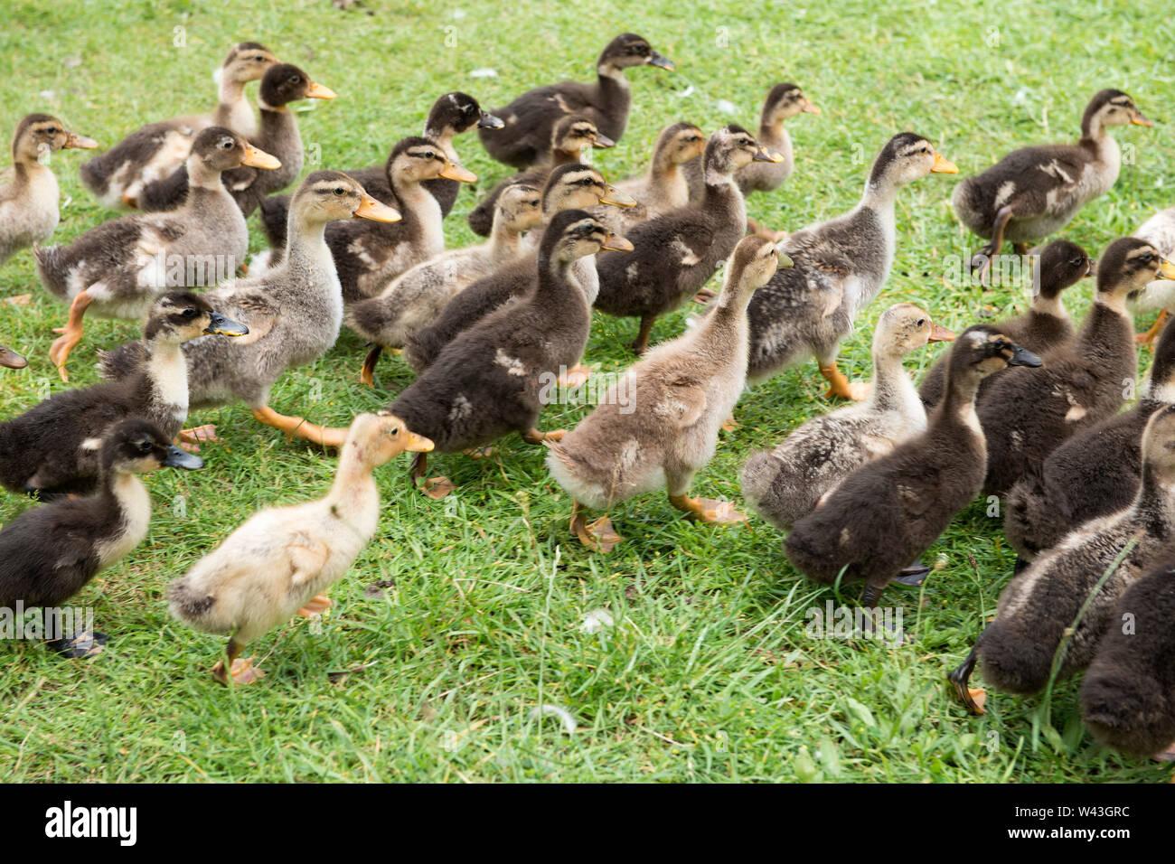 Albania, Balkan Peninsula, Erseke, Chick - Stock Image