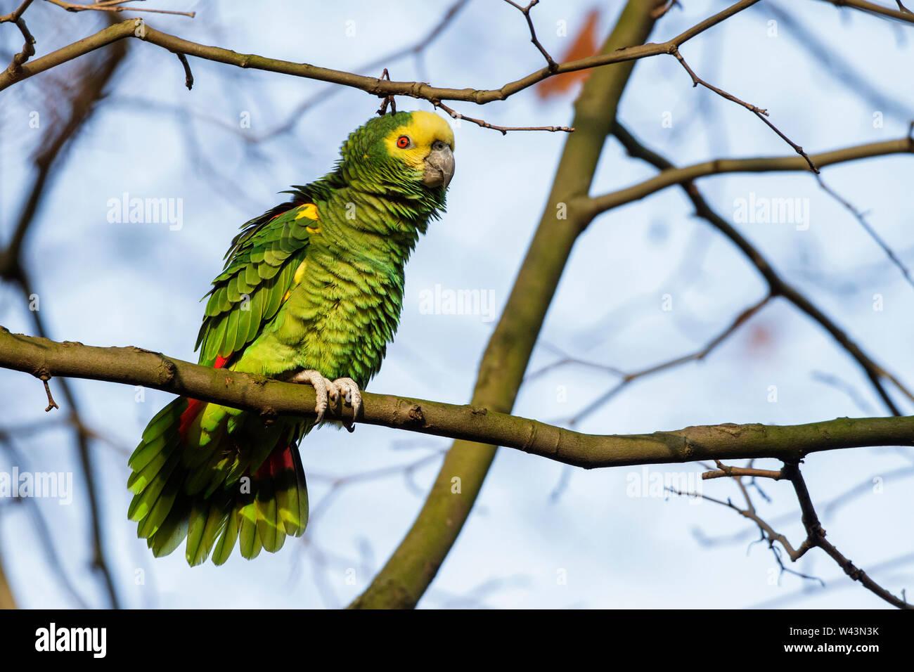 yellow-crowned amazon, yellow-crowned parrot, Gelbkopfamazone (Amazona oratrix) Stock Photo