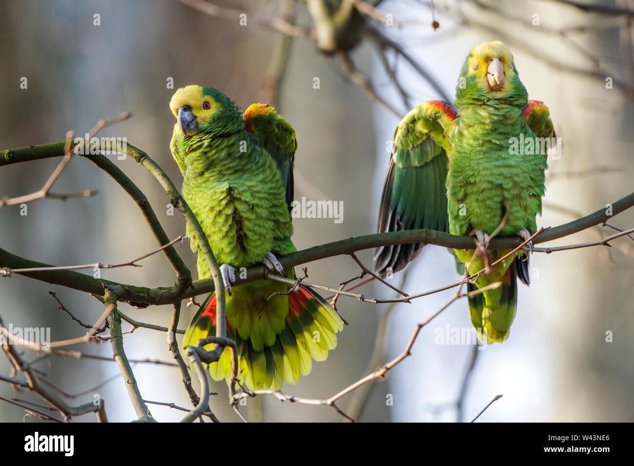 yellow-crowned amazon, yellow-crowned parrot, Gelbkopfamazonen (Amazona oratrix) Stock Photo