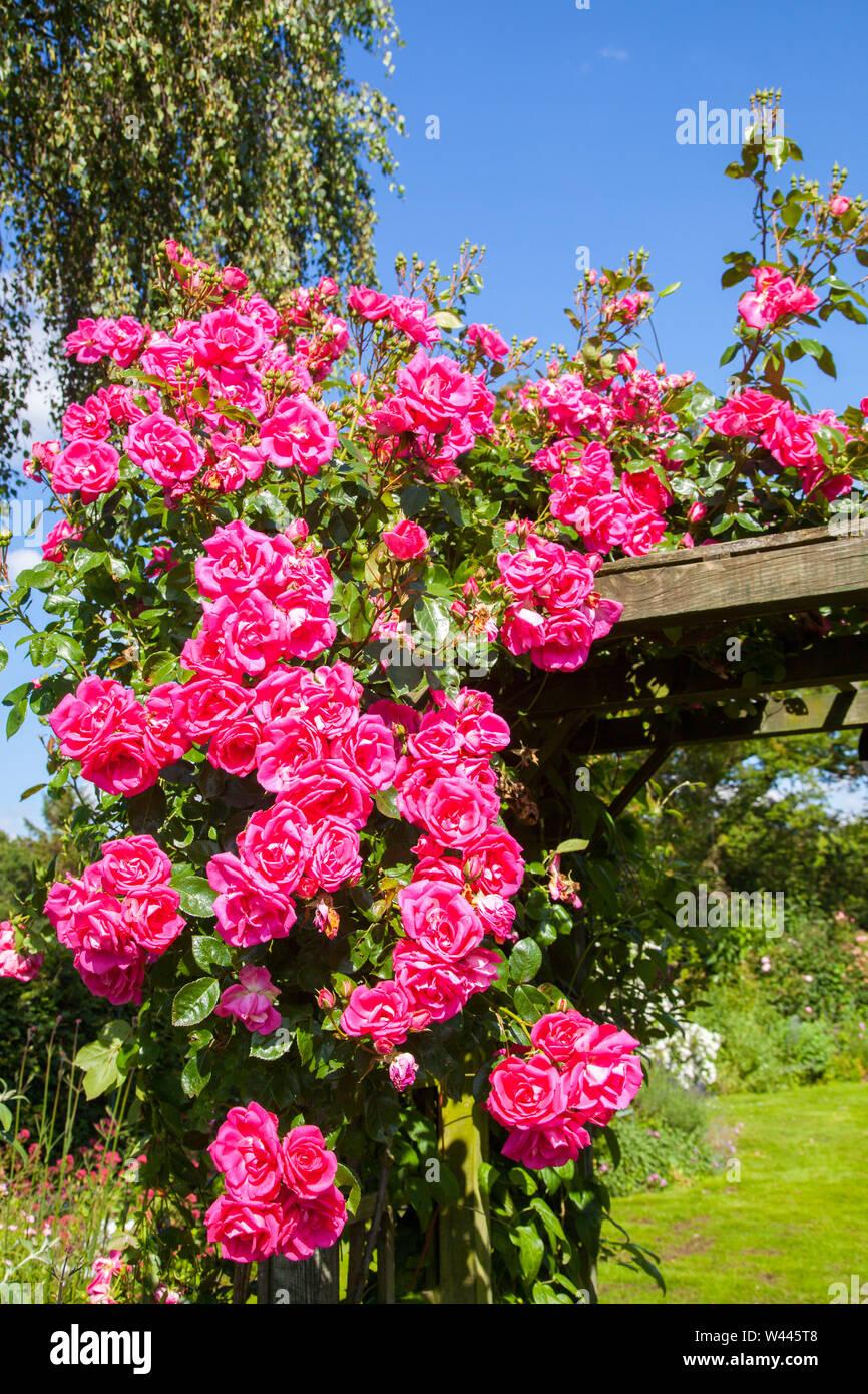 Roses Arbor Garden Trellis Stock Photos Roses Arbor Garden
