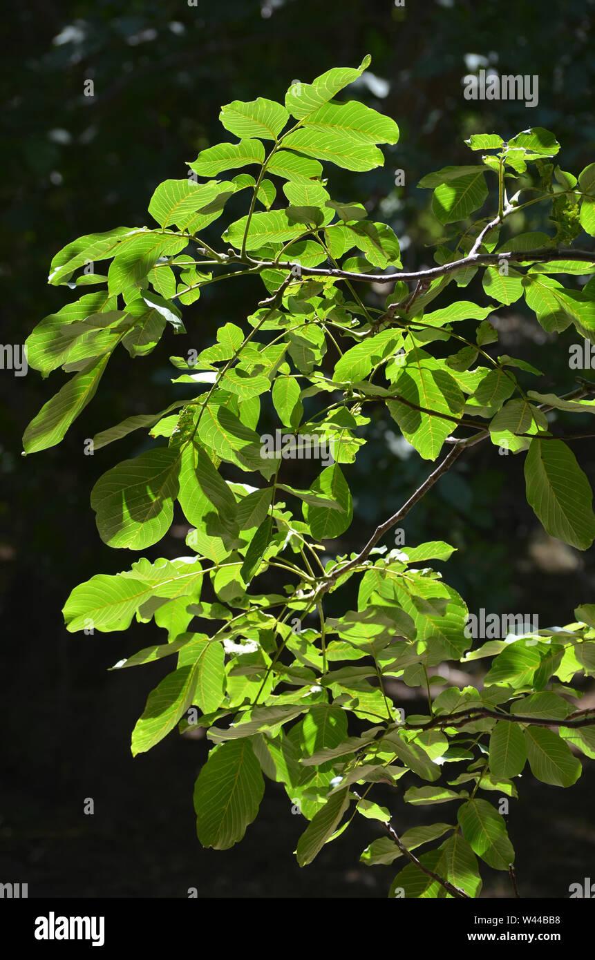 Walnut Tree Leaves Stock Photos & Walnut Tree Leaves Stock
