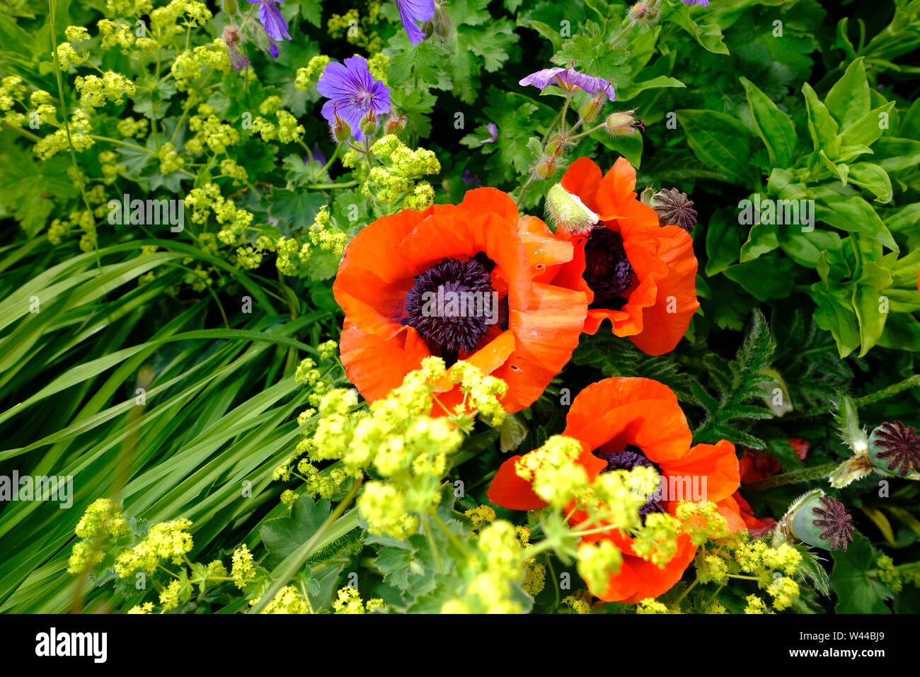 Wild Poppy flowers in the herbaceous border of an English cottage garden Stock Photo