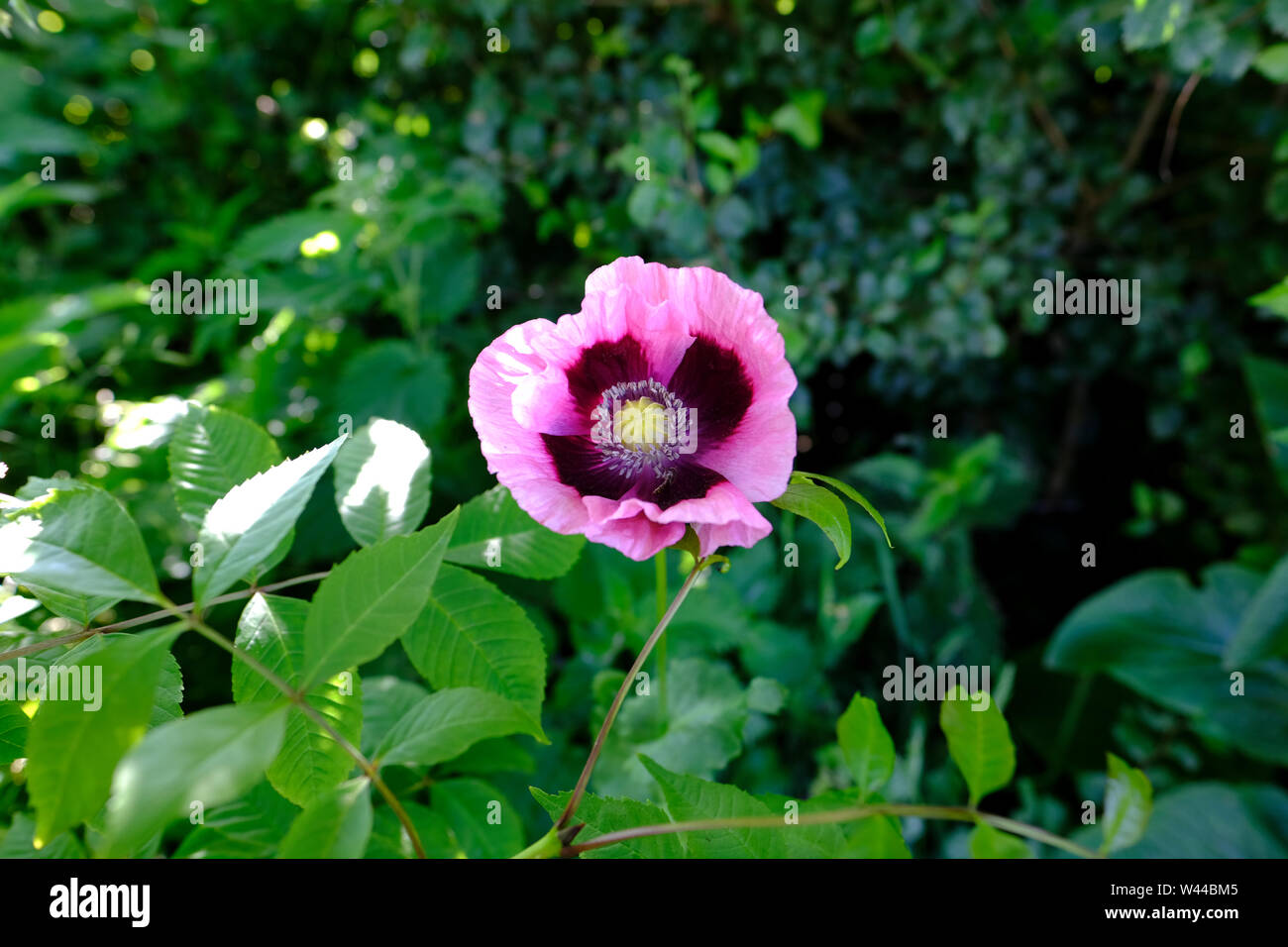 Wild Poppy flower in the herbaceous border of an English cottage garden Stock Photo