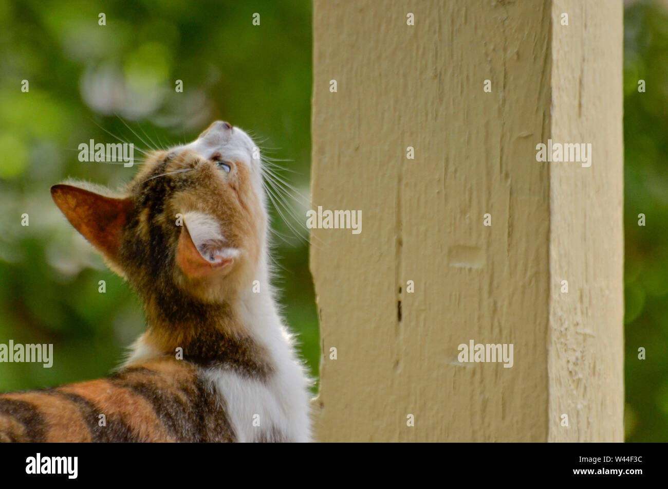 calico kitten looking up Stock Photo