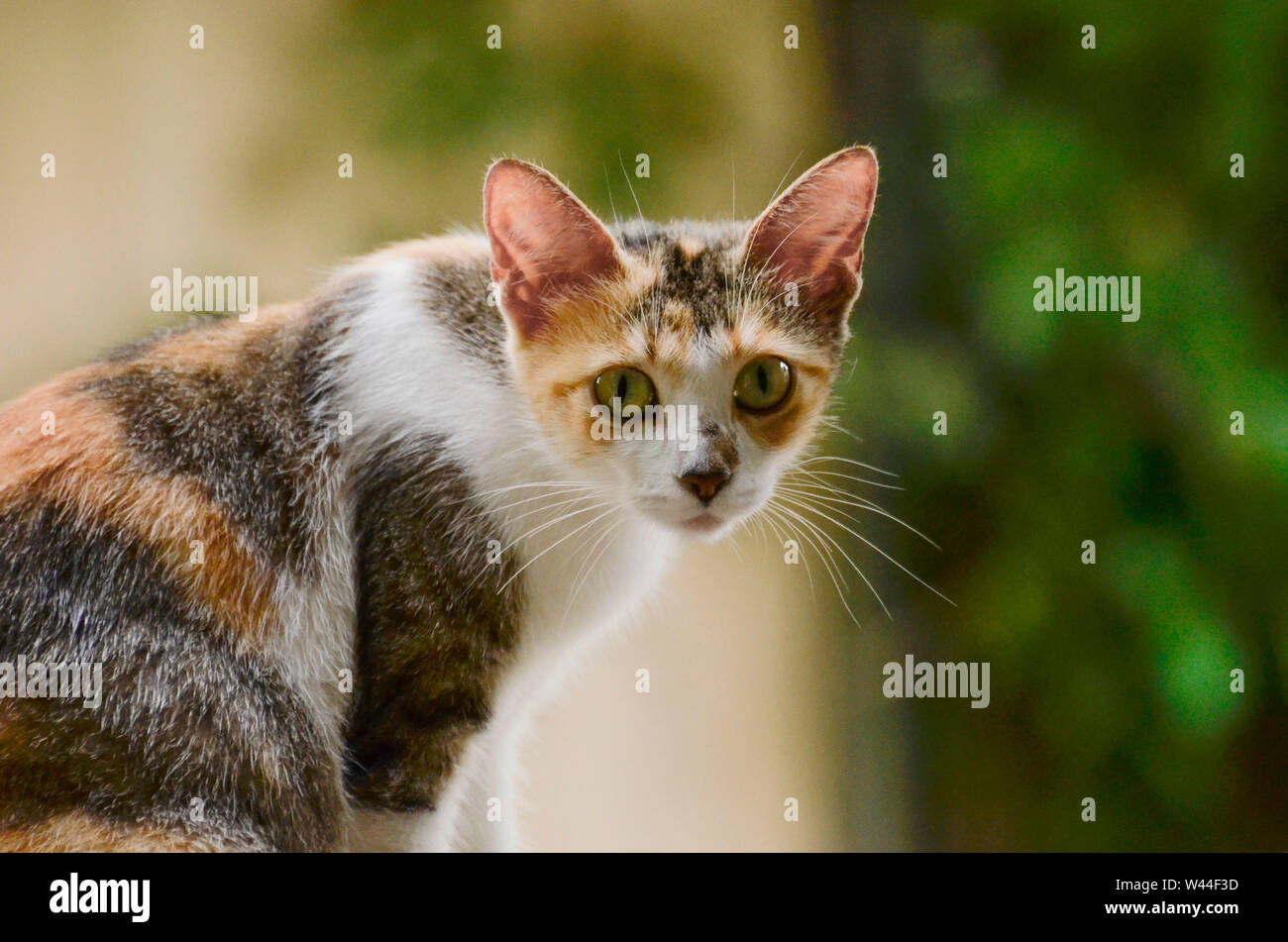 calico cat sitting profile with turned head Stock Photo