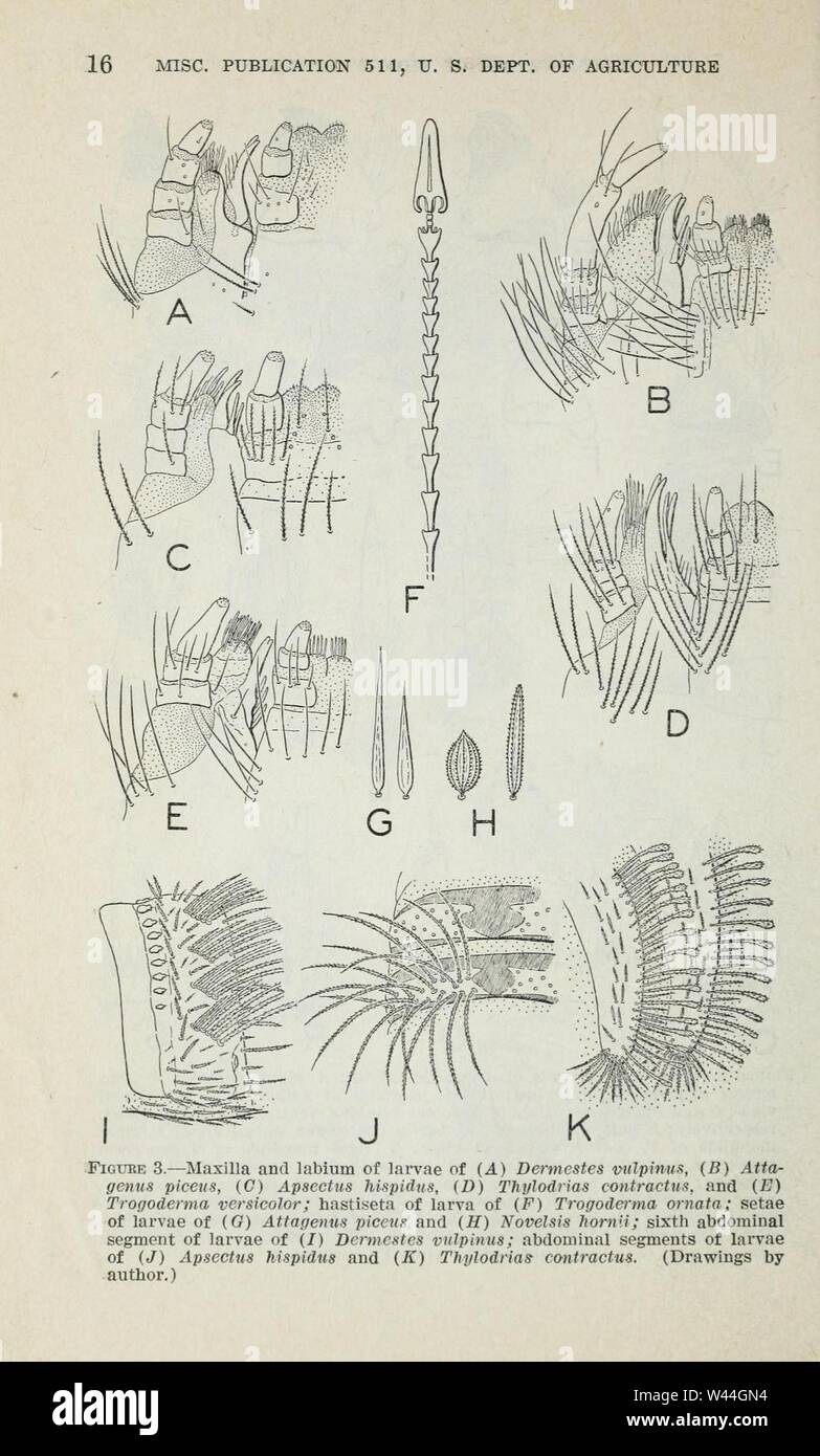 Classification of the Dermestidae (larder, hide, and carpet beetles) based on larval characters (Page 16) - Stock Image