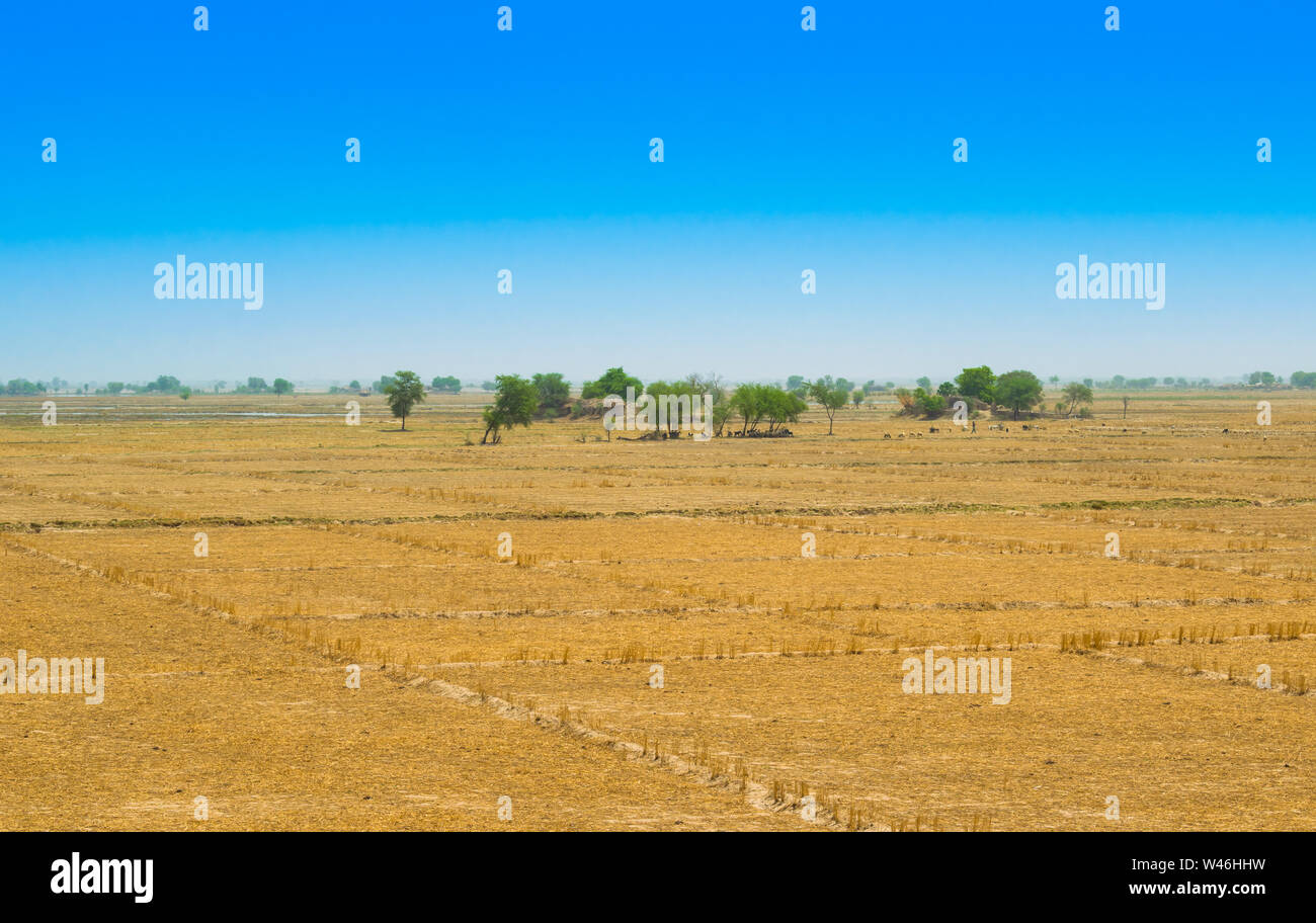view of wheat field after harvest in rahim yar khan,pakistan.golden crop field after cutting. Stock Photo