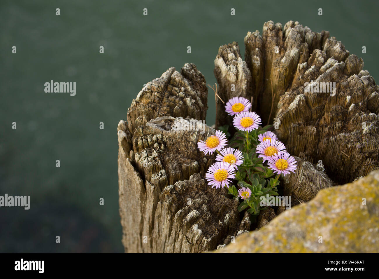 An example of Erigeron Glaucus, growing on top of a wooden piling alongside West Bay harbour in Dorset. The plant is known by several names such as se Stock Photo