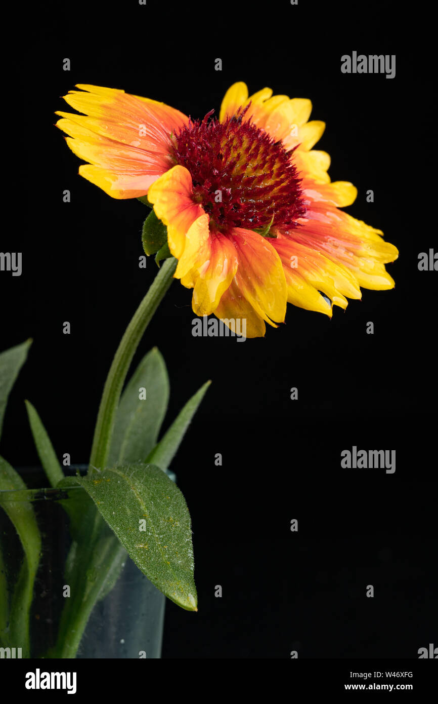 Gaillardia Pulchella On A Dark Table In A Glass Vase Beautiful Flowers Cut From The Home Garden Black Background Stock Photo Alamy