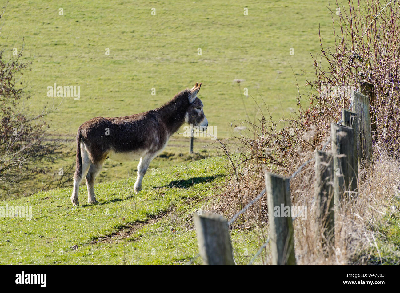 Equus africanus asinus, domestic donkey on a pasture in the countryside in Bavaria, Germany Stock Photo