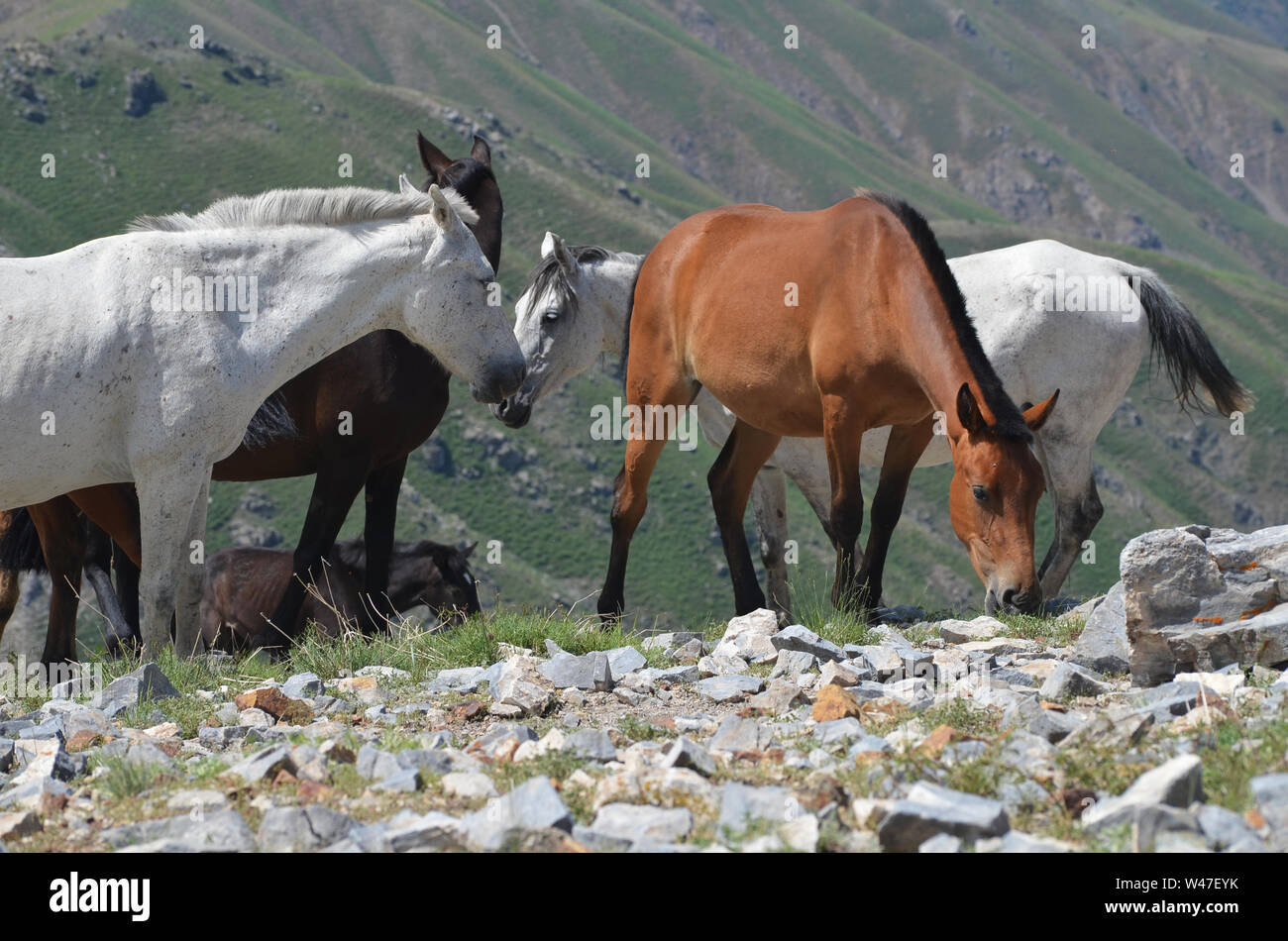 Wild horses near Greater Chingam peak, Ugam-Chatkal National park, Uzbekistan Stock Photo