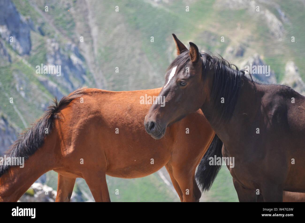 Wild horses near Greater Chingam peak, Ugam-Chatkal National park, Uzbekistan Stock Photo