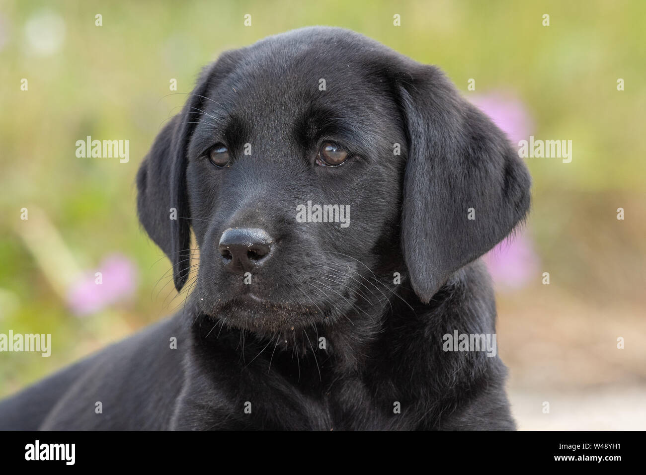 8 Week Old Labrador Puppy High Resolution Stock Photography And Images Alamy