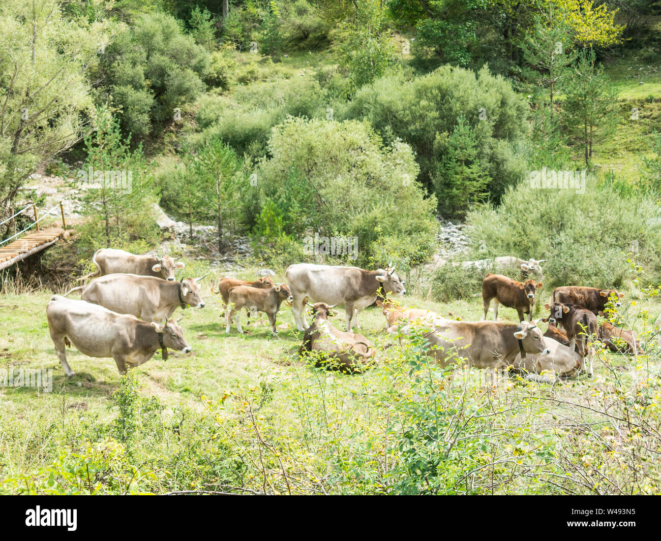 Cows grazing in a meadow in the Sierra del Cadí, pre-Pyrenees mountain in Catalonia, Provinde of Lleida, Spain. - Stock Photo