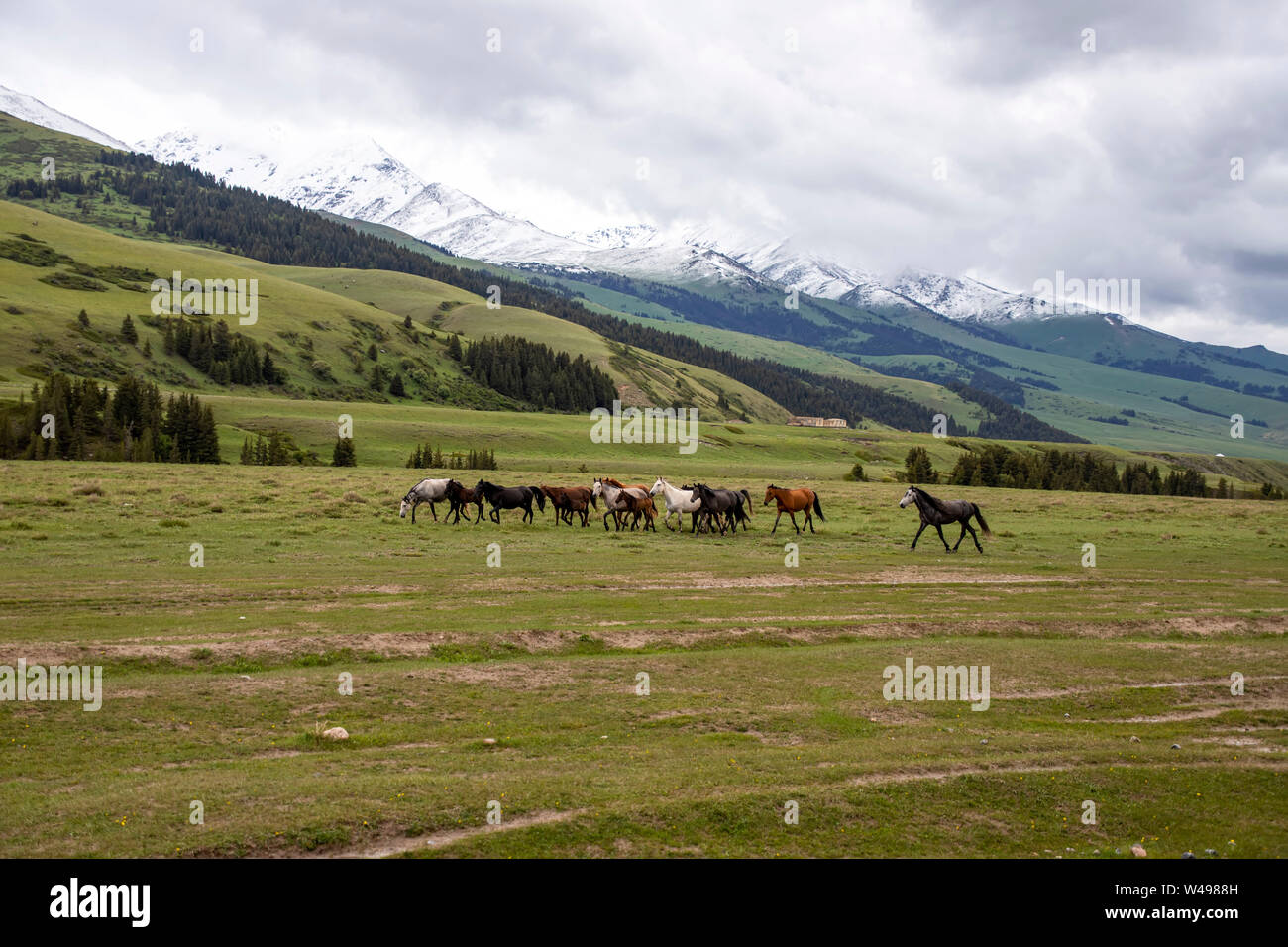 Herd of horses grazing on a green pasture against the backdrop of mountains covered with forest and with snow-capped peaks Stock Photo