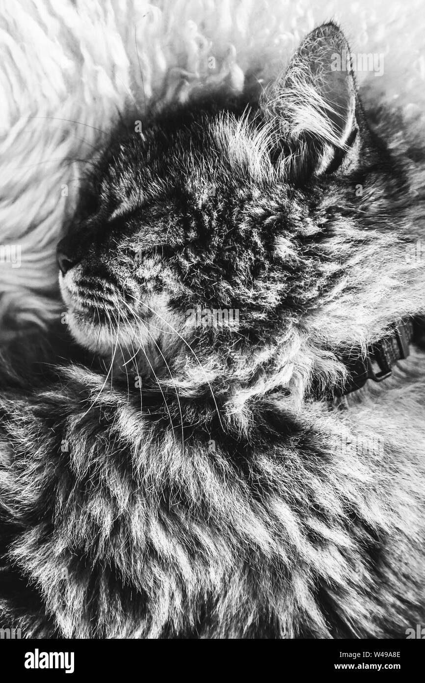 Black and white picture of sleeping tabby cat on white fluffy blanket. Black cat collar around neck. Persian cats. Taking a nap, animal sleep. Black and white photography. Stock Photo