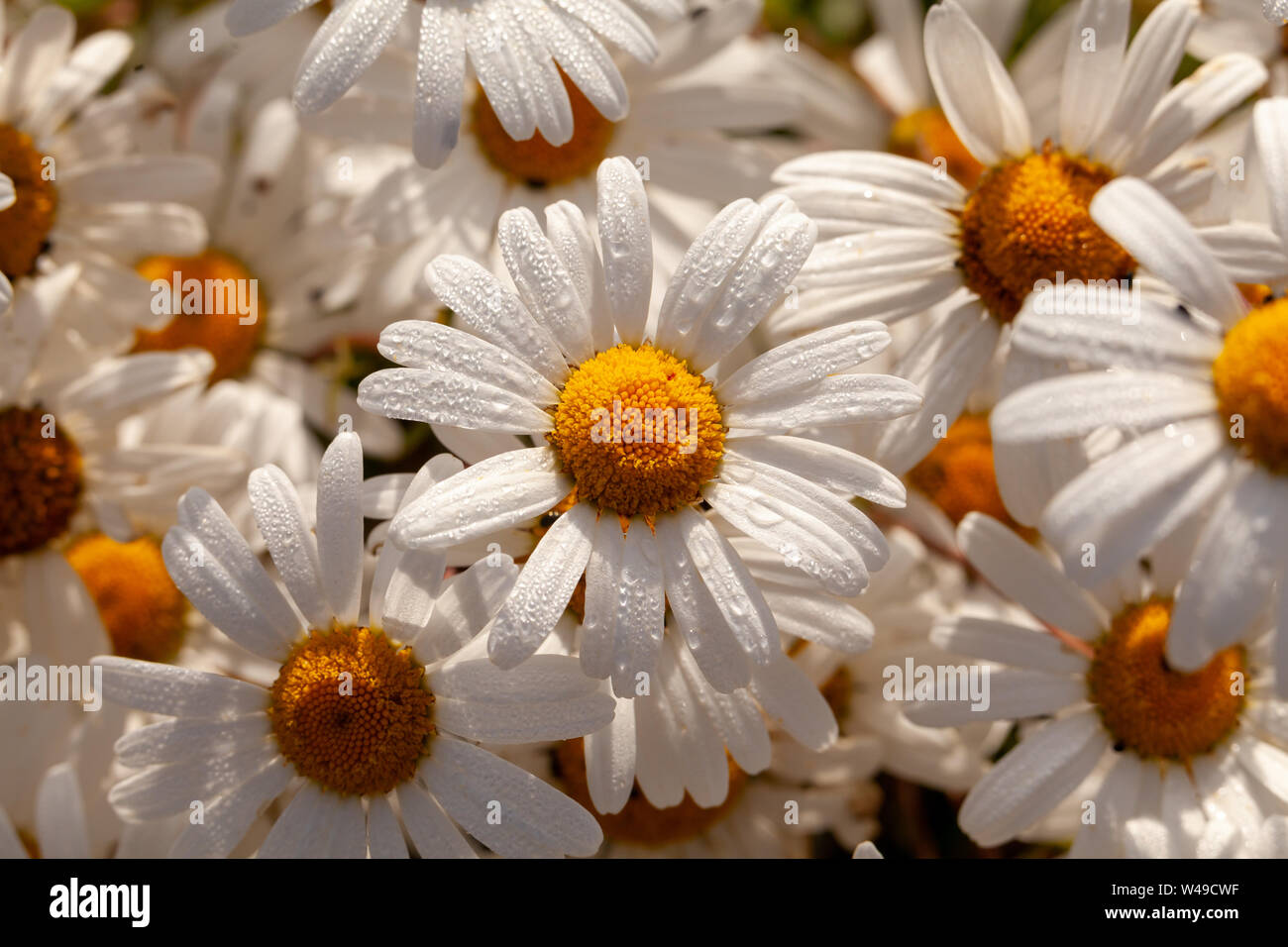 Big wild daisy (Oxeye) flowers close up with morning dew. Natural plants in nature setting. White petals and yellow heads Stock Photo