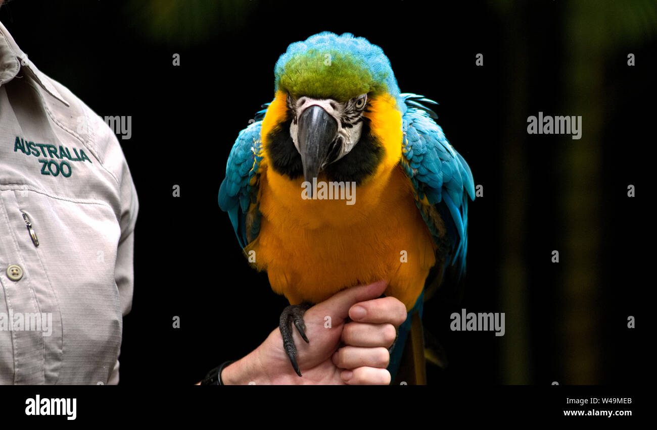 Blue And Gold Yellow Macaw Sitting On A Female Hand Brisbane Zoo Australia Stock Photo Alamy