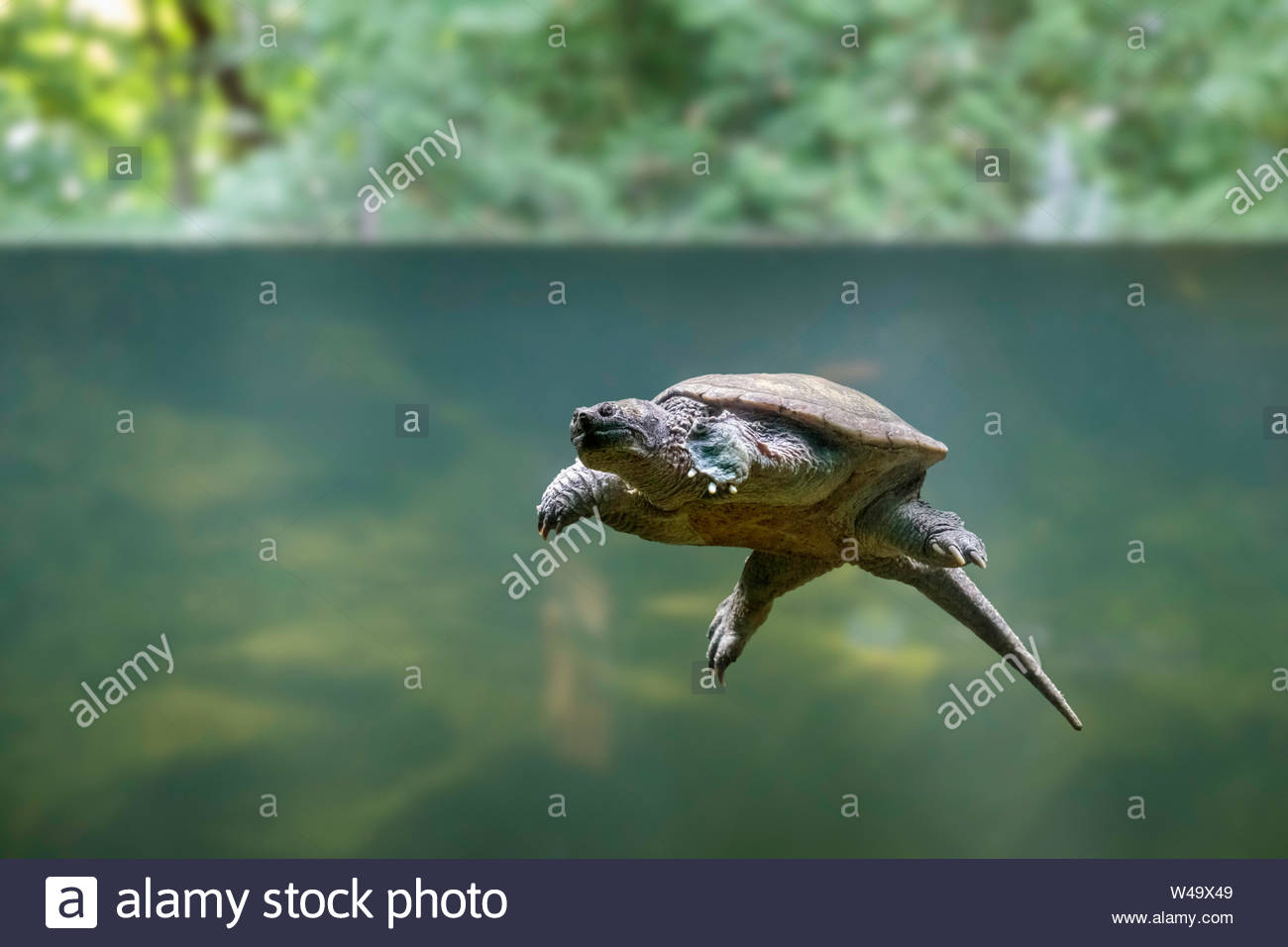 Common snapping turtle Chelydre serpentina underwater at the Toronto Zoo Ontario Canada. Stock Photo