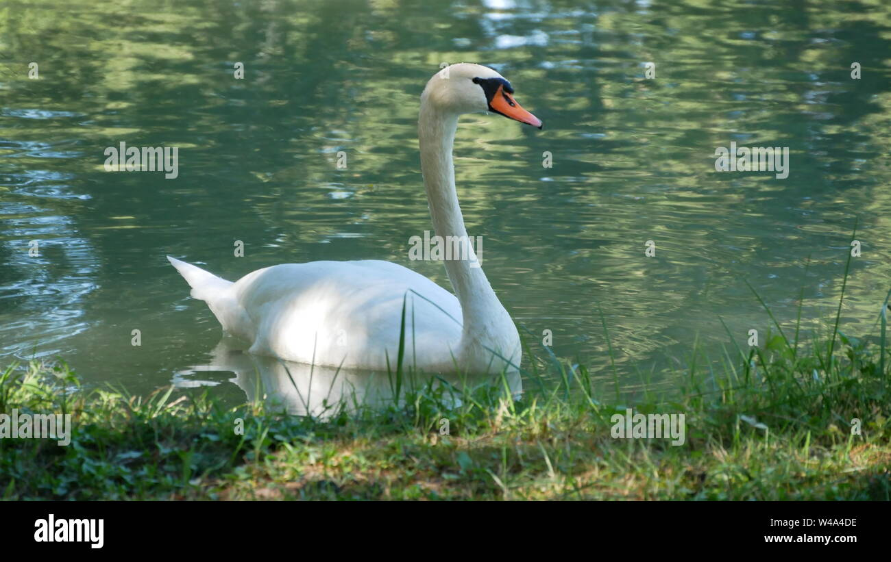 A proud swan in its own pond Stock Photo