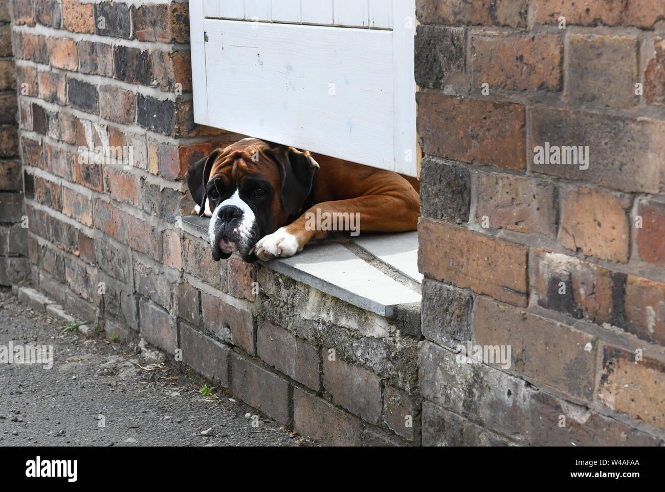boxer dog peering under garden gate britain uk W4AFAA