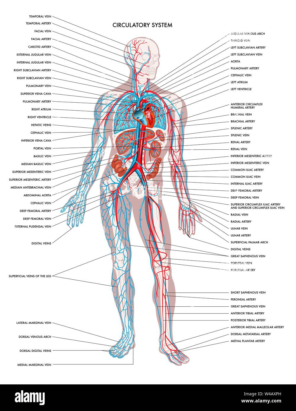 human circulatory system diagram circulatory system stock photos   circulatory system stock images  circulatory system stock photos