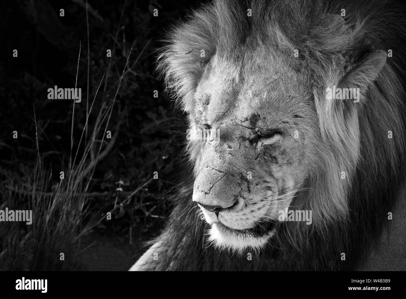 Old male lion with scars in black and white Stock Photo