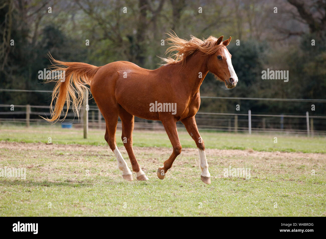 Horse Running In At A Rural Farm The Horses Are Looked After Naturally Allowing Them To Run Free Live In Open Fields And Are Without Horse Shoes Stock Photo Alamy