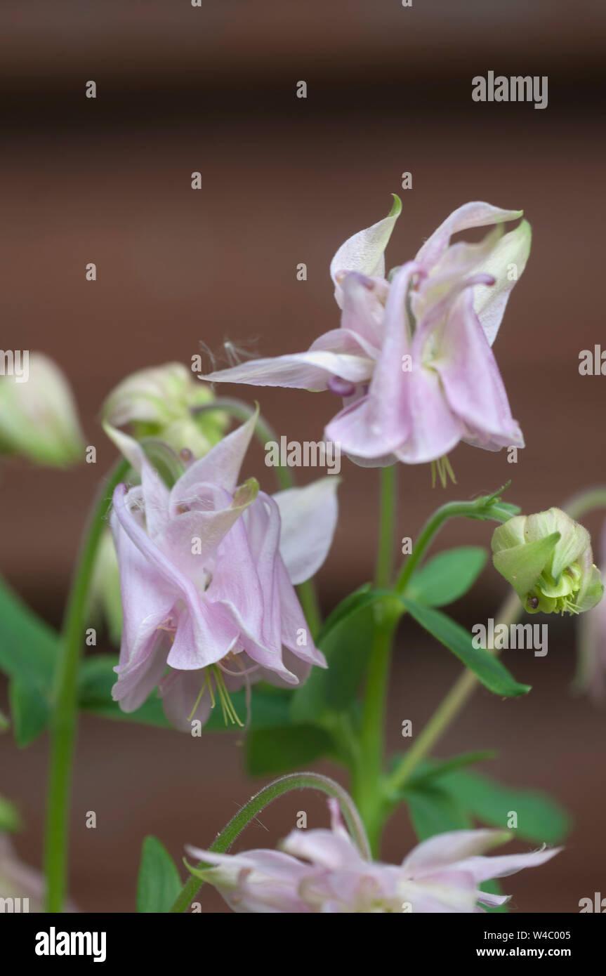 Aquilegia Hybrid Flower Close Up Shot Local Focus Stock Photo