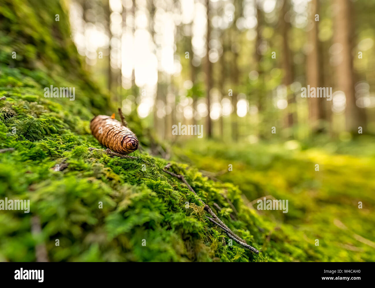 Green mossy forest with a pinecone in focus. Stock Photo