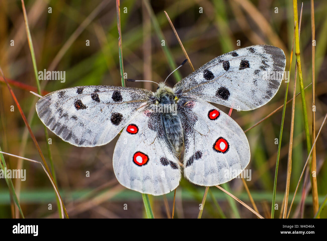 mountain Apollo, Roter Apollo (Parnassius apollo) Stock Photo