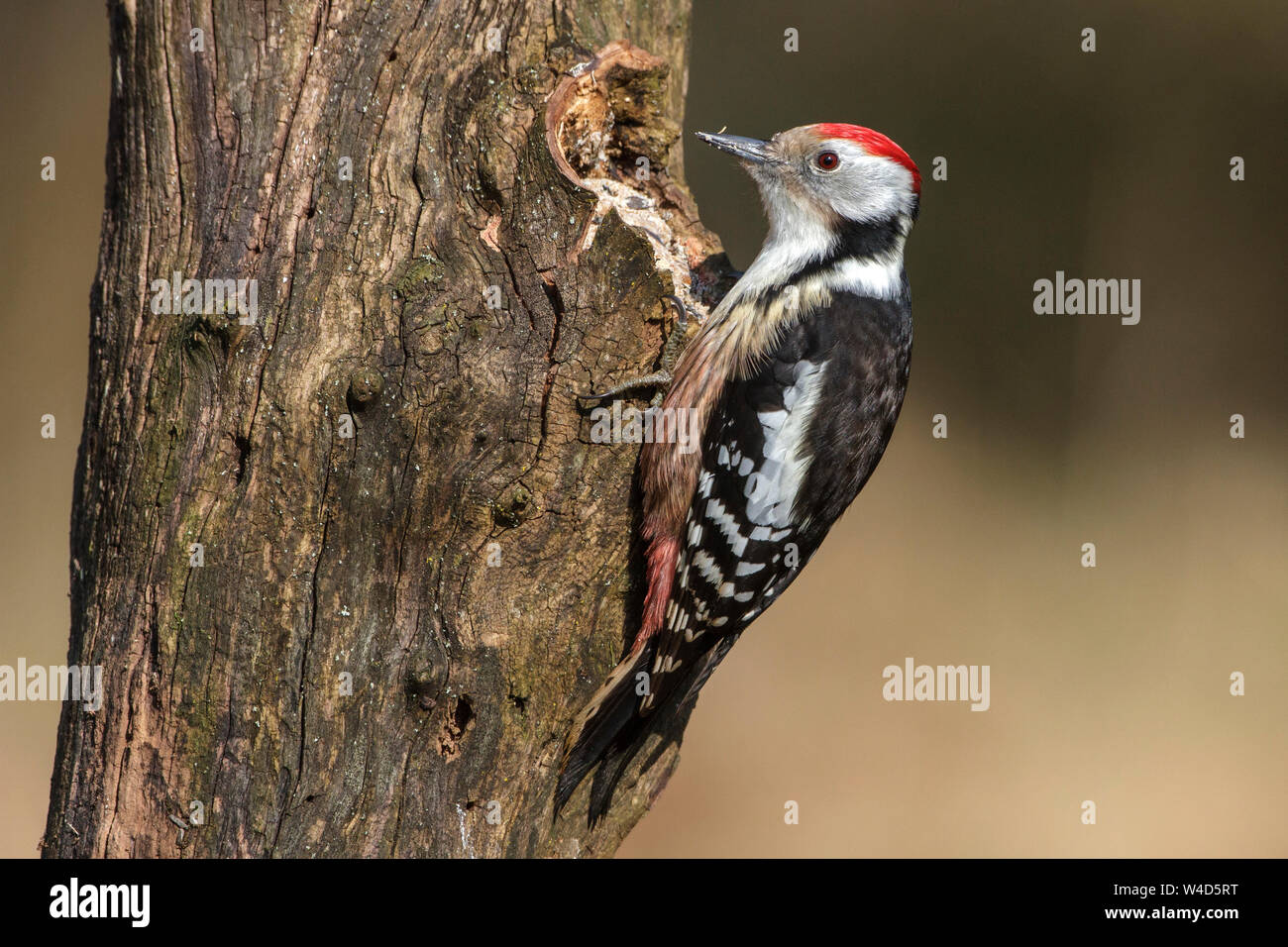 Middle spotted woodpecker, Mittelspecht (Dendrocopos medius) Stock Photo