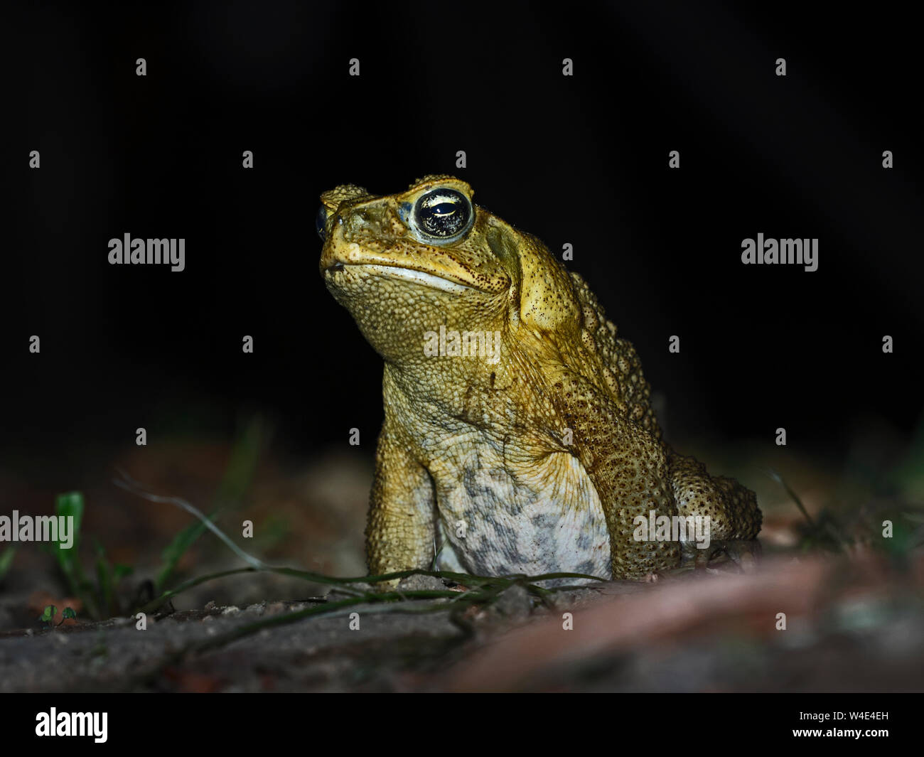 Cane Toad Rhinella marina Makira Island, Solomon Islands, South Pacific.  Introduced to Makira and now a major threat to native wildlife the toads hav Stock Photo