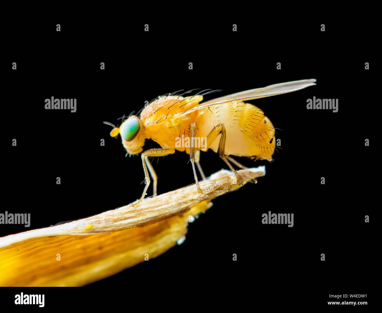 Exotic Drosophila Fruit Fly Diptera Insect on Plant Isolated on Black Background Stock Photo