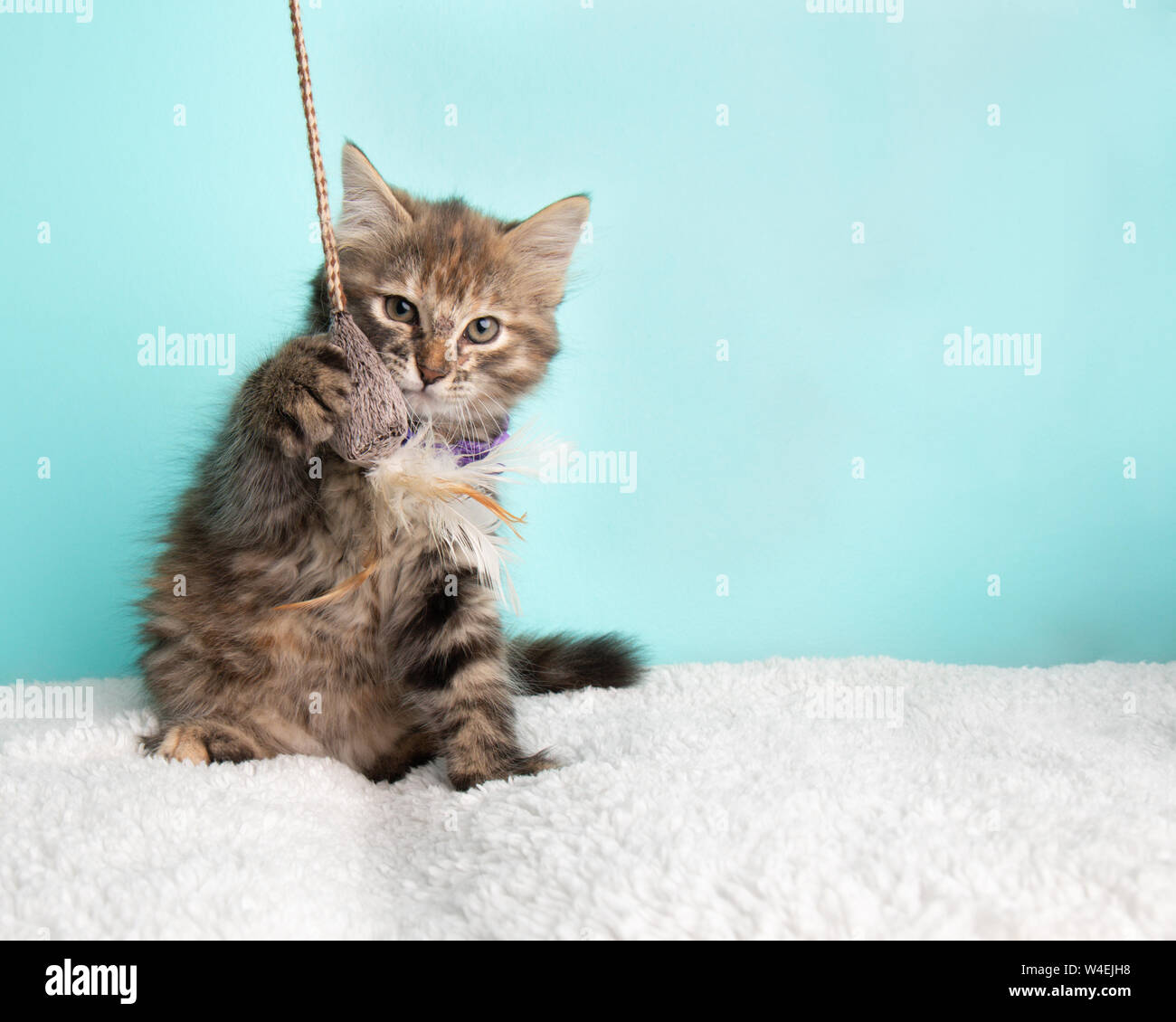 Cute Fluffy Young Tabby Kitten Rescue Cat Wearing Purple and White Poka Dotted Bow Tie Sitting Pawing and Playing with String and Mouse Toy on Blue Ba Stock Photo