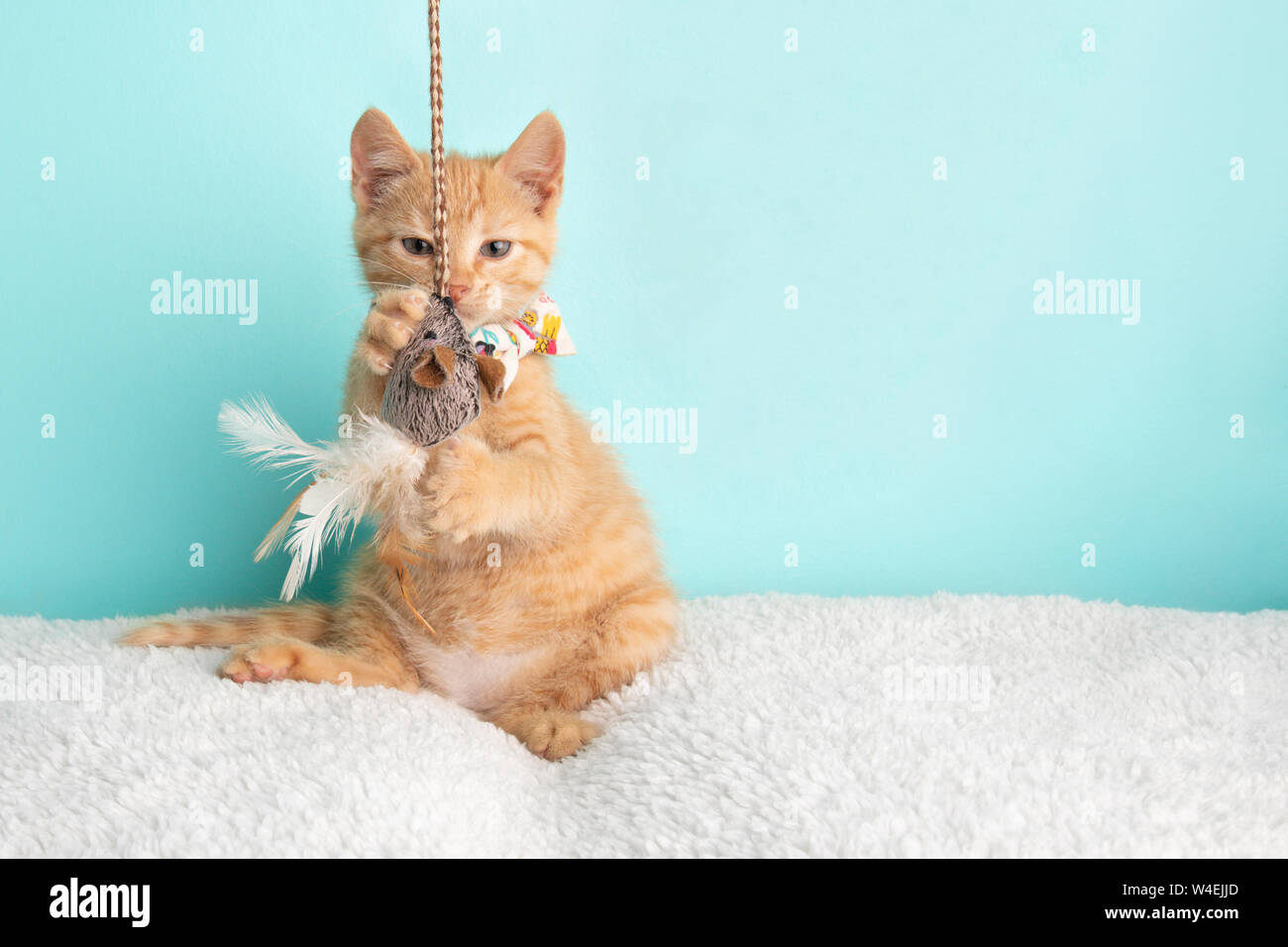 Cute Young Orange Tabby Cat Kitten Rescue Wearing White Flower Bow Tie Sitting Funny Playing with String and Mouse Toy on Blue Background Stock Photo