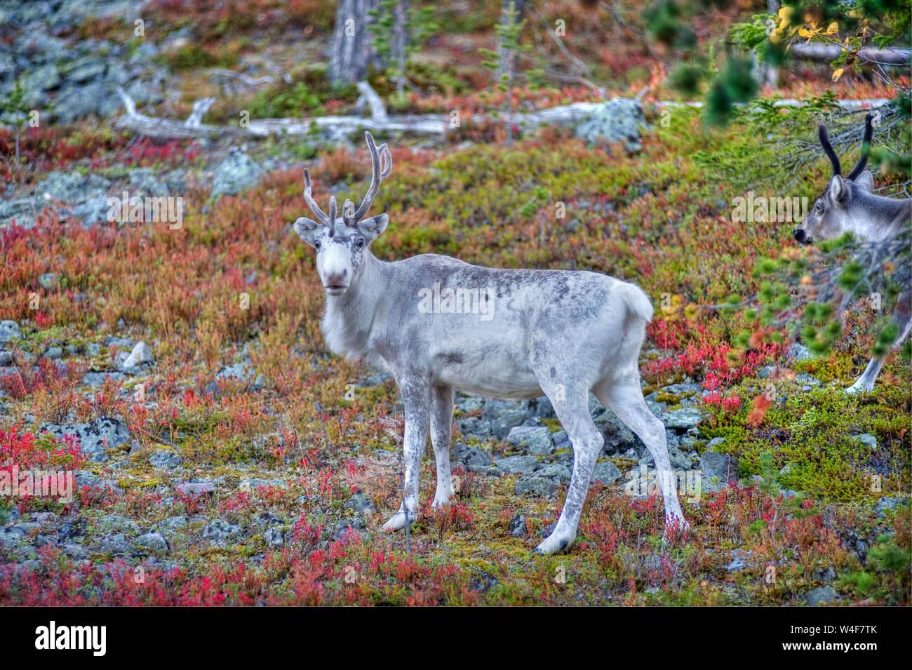 reindeer (Rangifer tarandus) in the taiga forest,Ruska time (autumn), Pallas-Yllastunturi National Park, Lapland, Finland Stock Photo