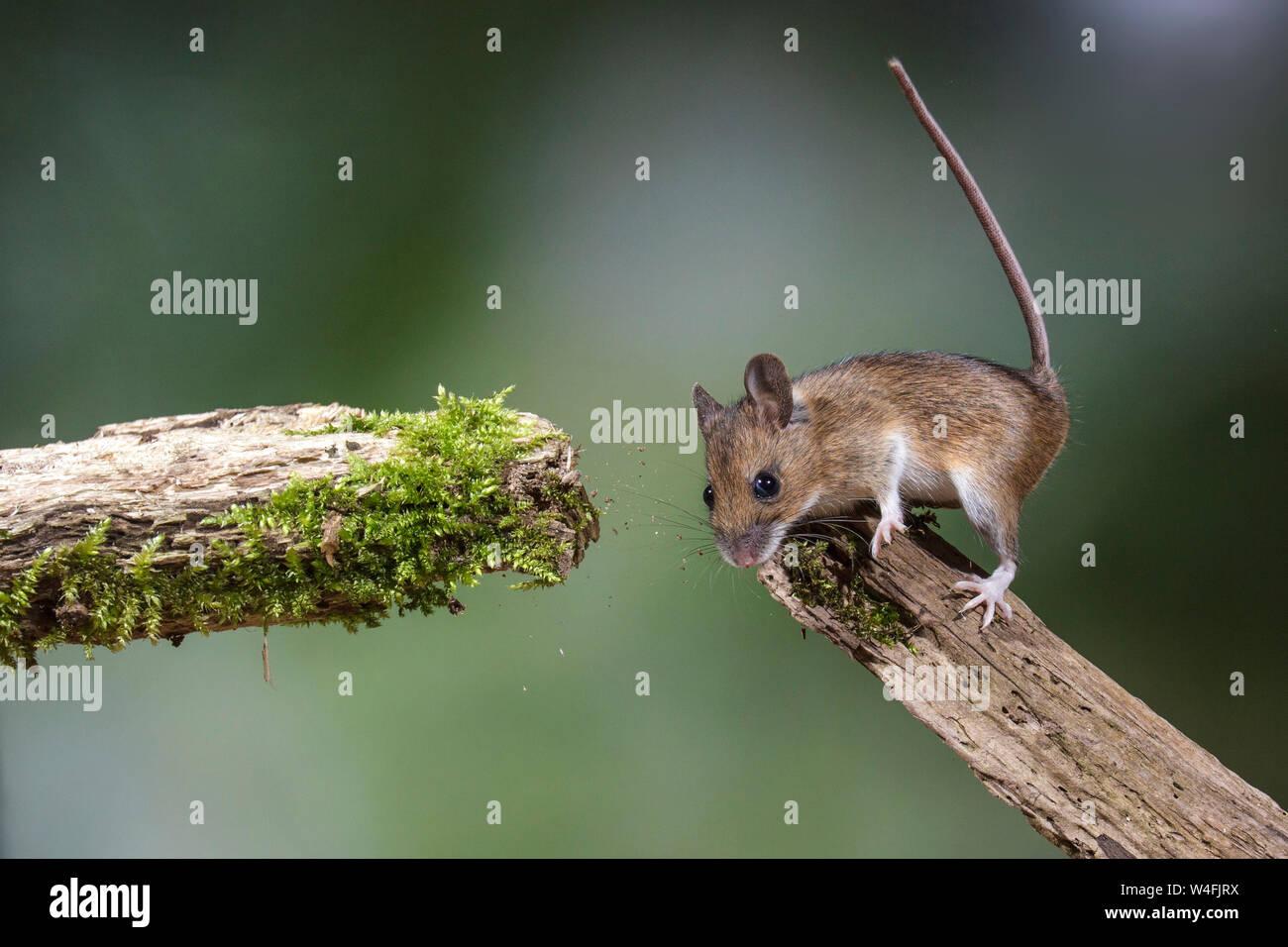 Wood mouse, Waldmaus (Apodemus sylvaticus) Stock Photo