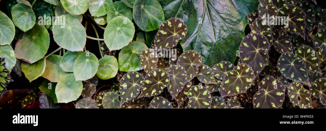 Begonia Deliciosa Is A Popular Home Plant Bright Leaves Of