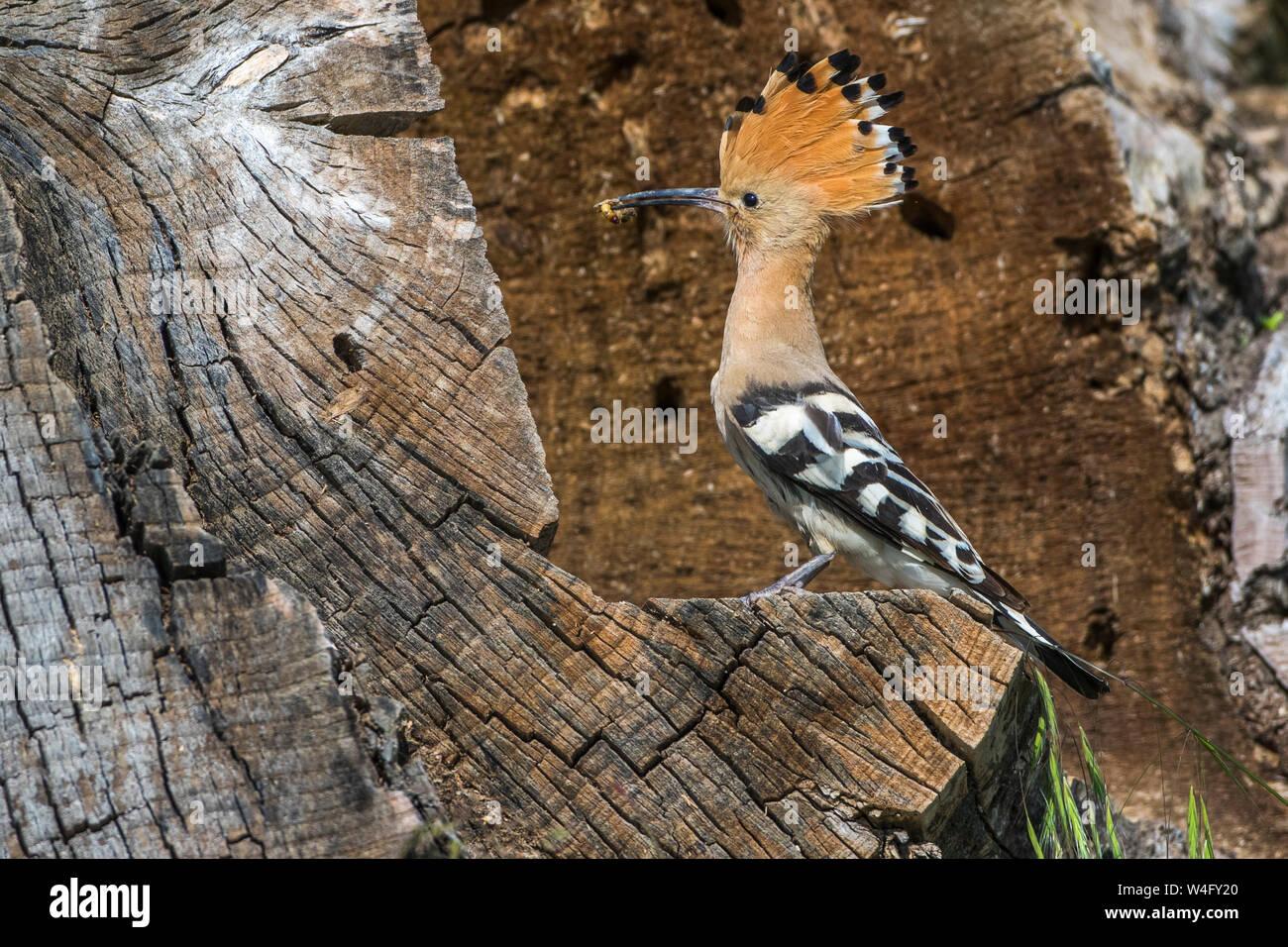 Eurasian hoopoe, Wiedehopf (Upupa epops) Stock Photo