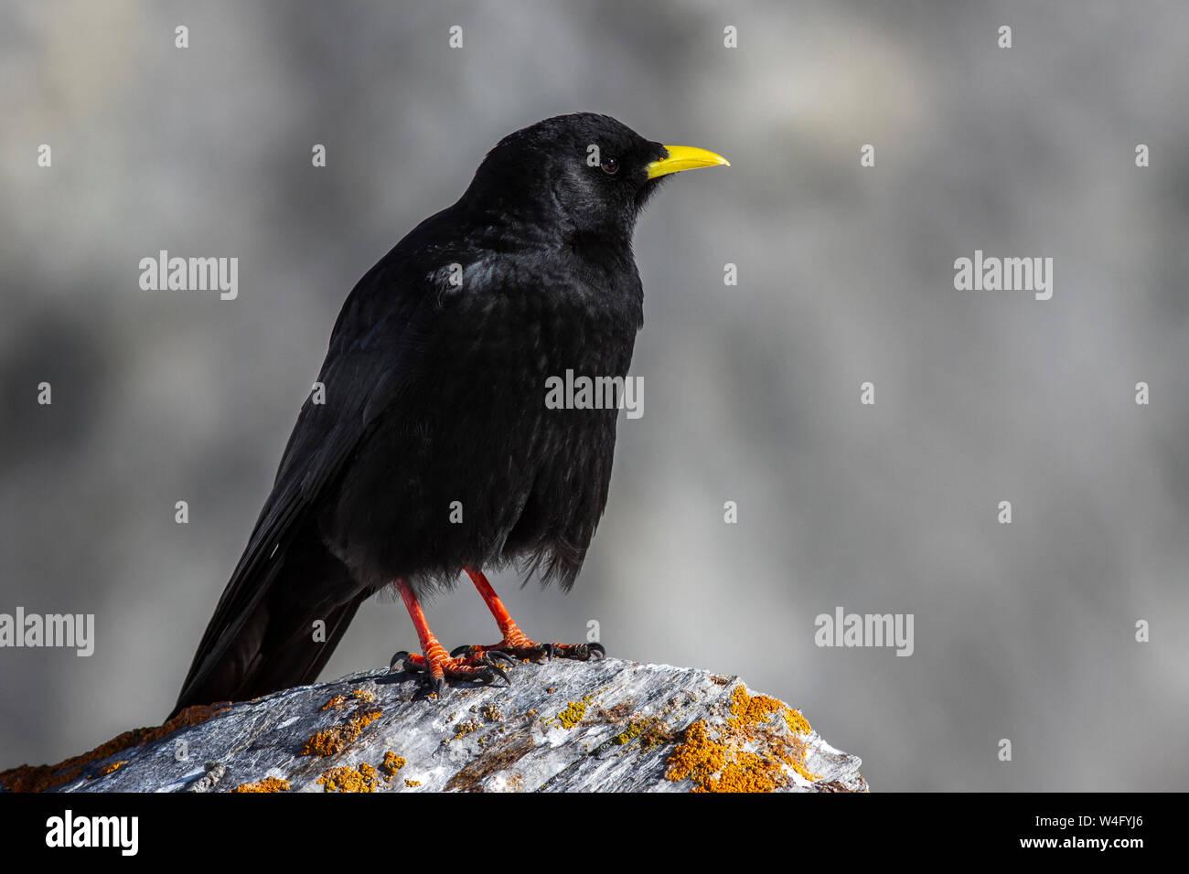 Alpine chough, yellow-billed chough, Alpendohle (Pyrrhocorax graculus) Stock Photo