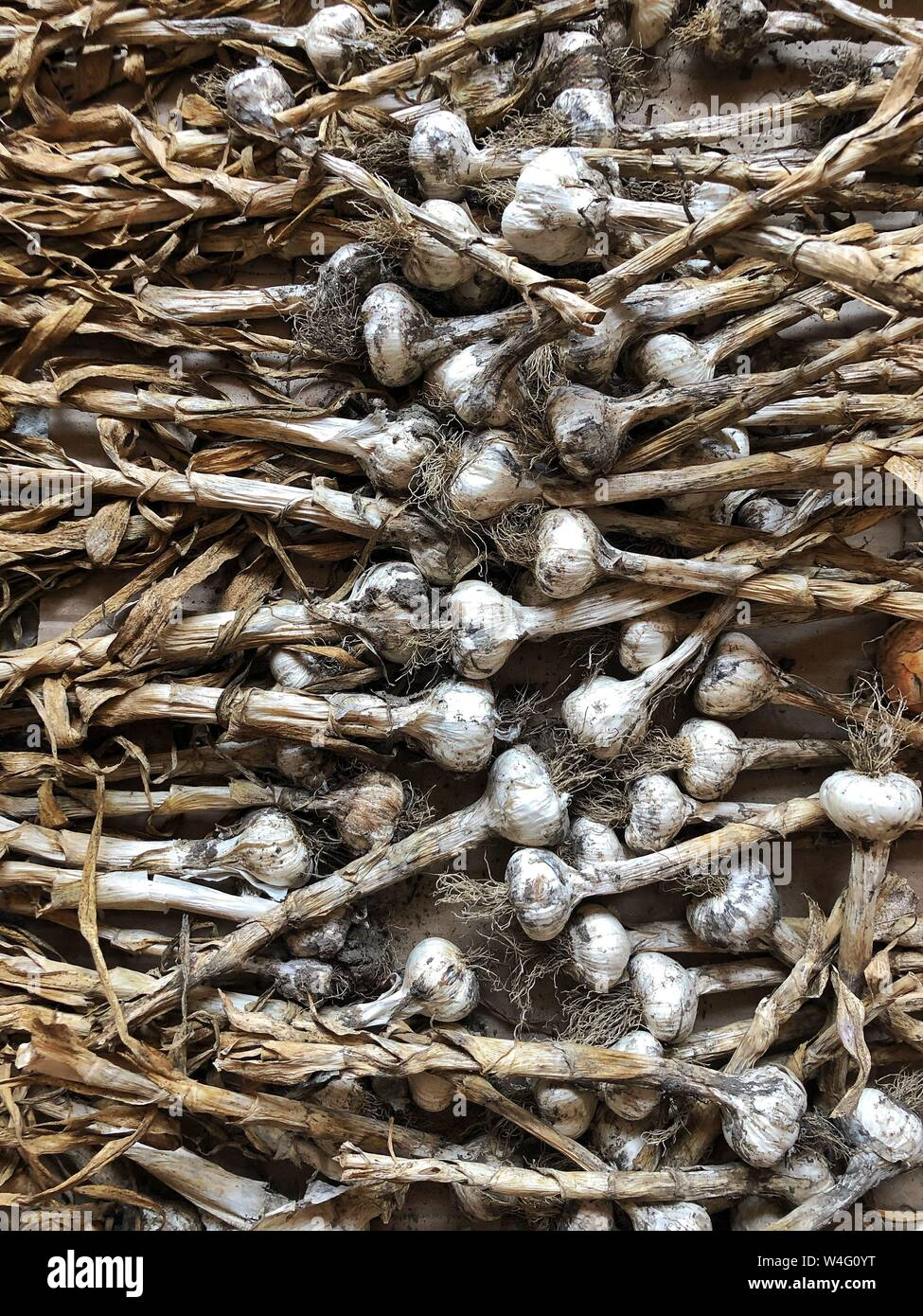 Freshly Picked Garlic Bulbs on a Soil and Dirt Background. Healthy food and organic concept Stock Photo