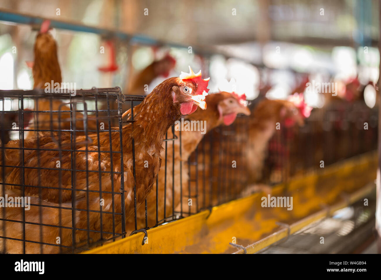 Battery Cages Stock Photos & Battery Cages Stock Images - Alamy