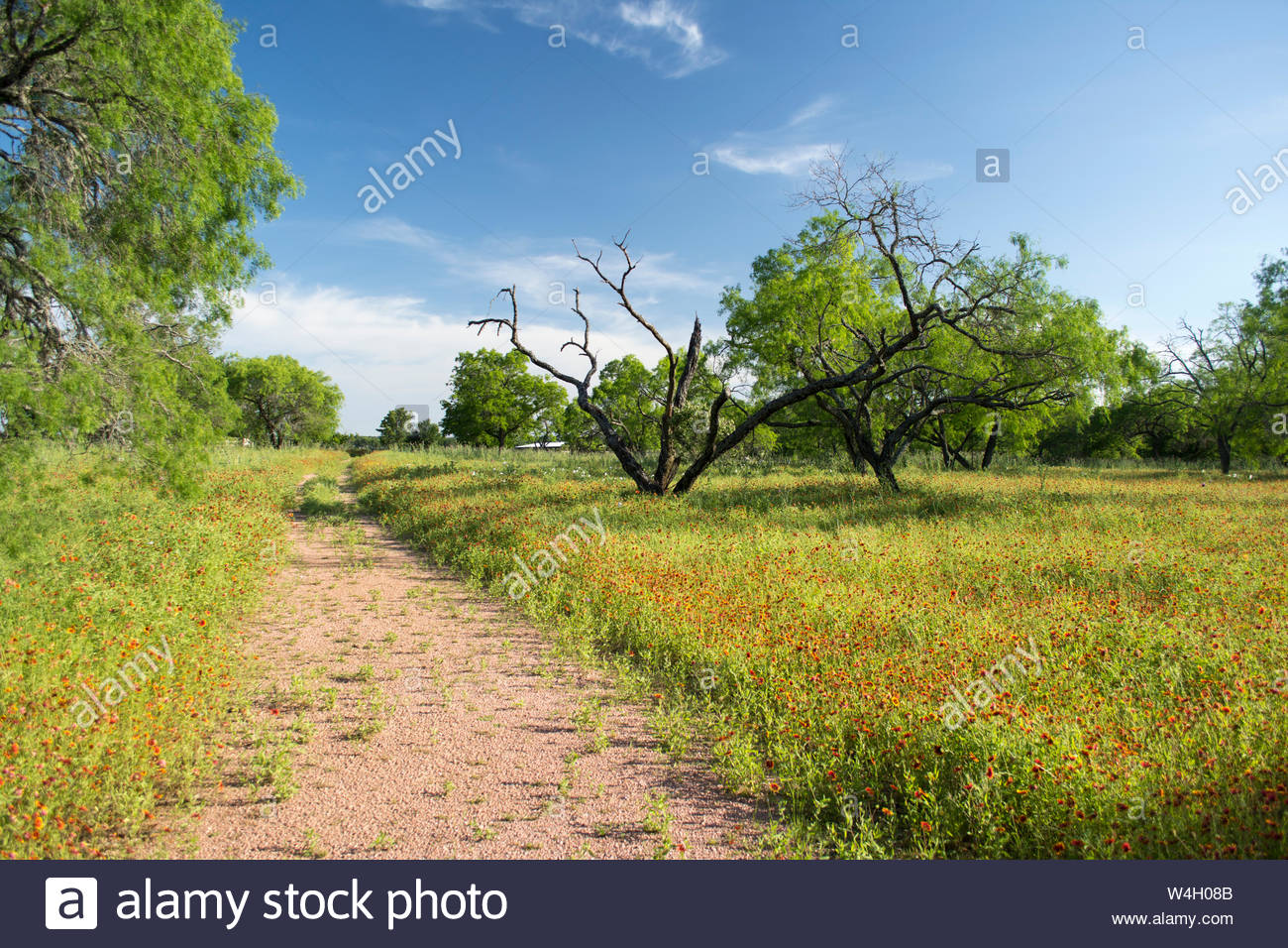 Country Lane Country Lane Through Wildflowers Country Lane And Flowers Mesquite Trees And Texas Hill Country Landscape Indian Blanket Flowers Usa Stock Photo Alamy