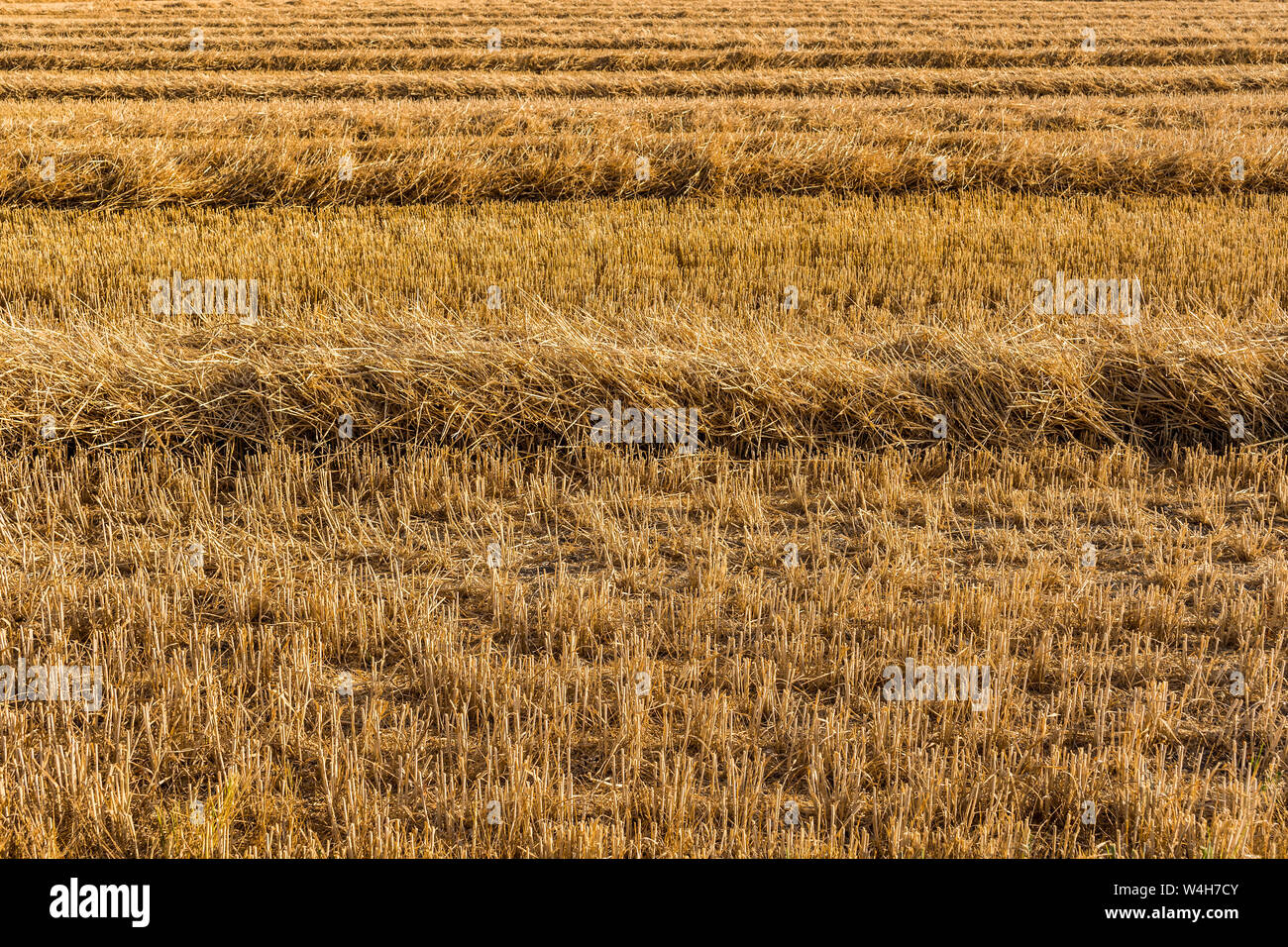 Stubble Wheat Field Texture Stock Photos Stubble Wheat