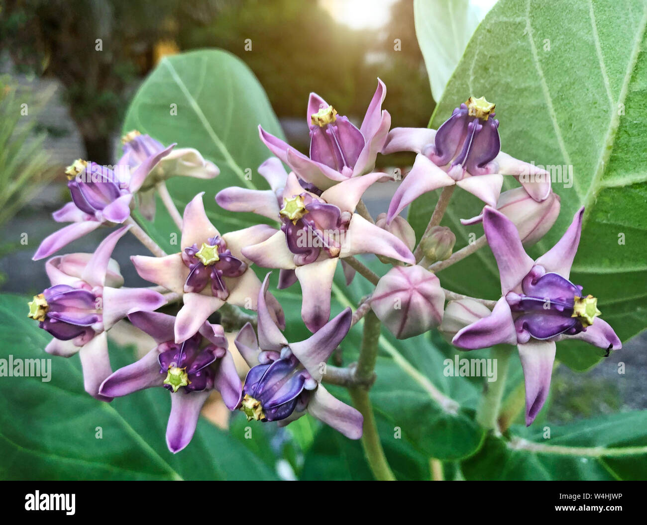 100 White Calotropis gigantea Seeds Crown flower Flower garland GIANT MILKWEED